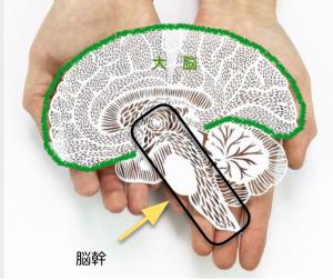 大脳と脳幹
